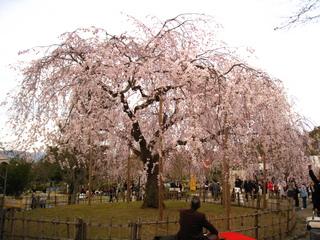 醍醐寺周辺桜見物006.JPG